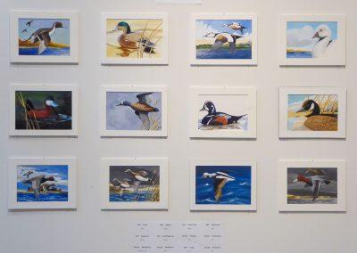 dayton duck species